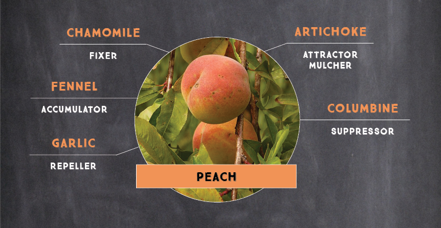 Sample Peach Tree Plant Guild